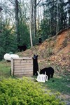 Black Bears in Gatlinburg
